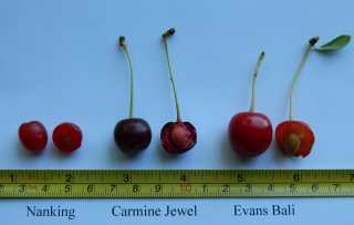 2012-07-15 Cherries comparison.jpg