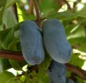 Berry Blue best plant24.jpg