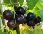 BlackCurrant 150.jpg