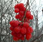 Highbush cranberry150.jpg